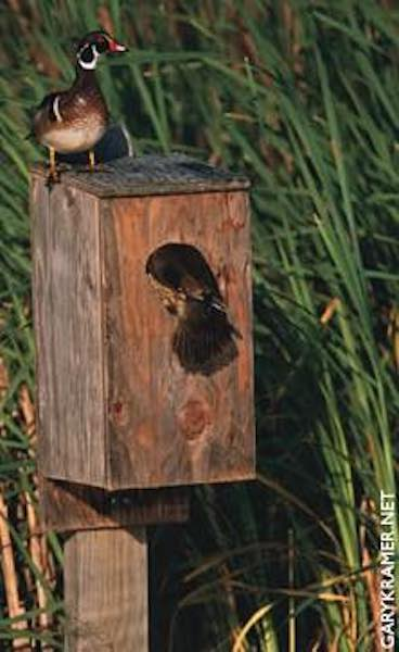 Free plans to build a Wood Duck Birdhouse.